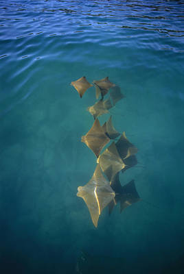 World Schooling Photograph - Golden Cownose Rays Schooling Galapagos by Tui De Roy
