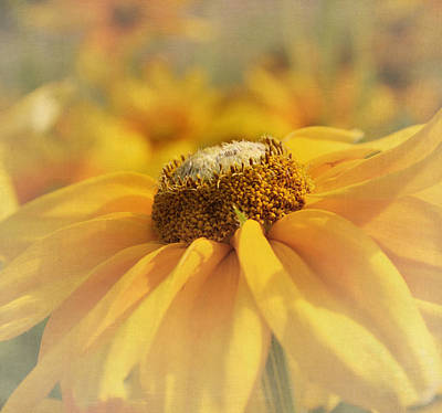 Golden Crown - Rudbeckia Flower Art Print by Kim Hojnacki