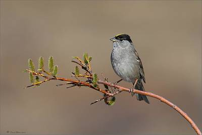Blue Hues - Golden Crowned Sparrow by Daniel Behm