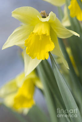 Golden Daffodils Art Print by Anne Gilbert