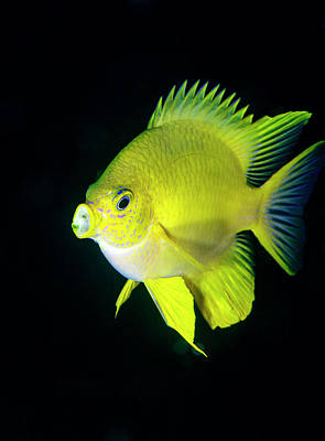 Pomacentridae Photograph - Golden Damselfish by Louise Murray