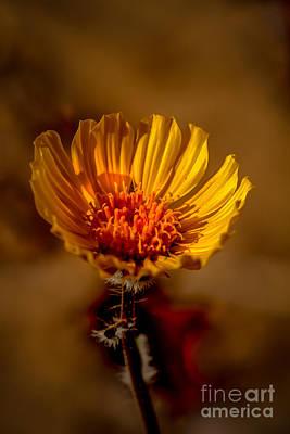 Photograph - Golden Dandelion by Robert Bales
