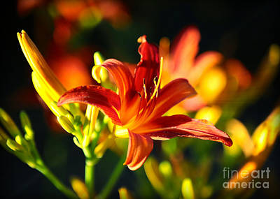 Sunlight On Flowers Photograph - Golden Daylily Rays by Carol Groenen