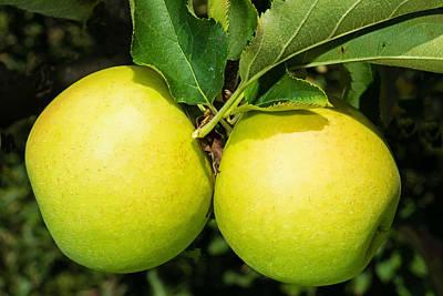Apple Photograph - Golden Delicious Apples by Millard H. Sharp