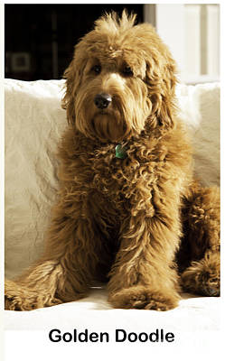 Golden Retriever Photograph - Golden Doodle by Madeline Ellis