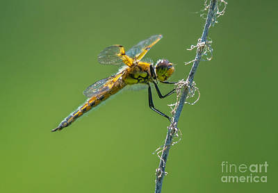 Photograph - Golden Dragonfly 1 by Cheryl Baxter