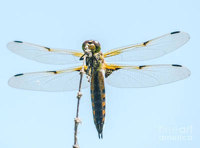 Photograph - Golden Dragonfly 2 by Cheryl Baxter