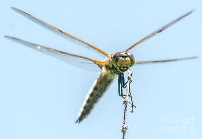 Photograph - Golden Dragonfly 3 by Cheryl Baxter