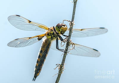 Photograph - Golden Dragonfly 4 by Cheryl Baxter