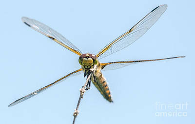 Photograph - Golden Dragonfly 5 by Cheryl Baxter