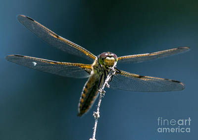 Photograph - Golden Dragonfly 8 by Cheryl Baxter
