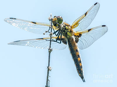 Photograph - Golden Dragonfly 9 by Cheryl Baxter