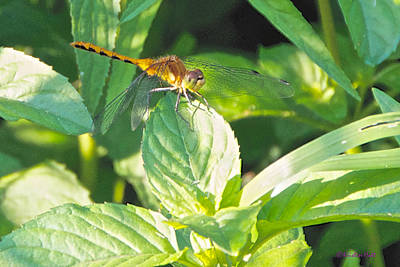 Photograph - Golden Dragonfly On Mint by Kristin Hatt