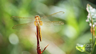 Photograph - Golden Dragonfly by Terri Mills