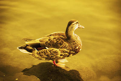 Photograph - Golden Duck by Nicola Nobile