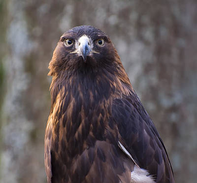 Of Birds Photograph - Golden Eagle 4 by Chris Flees