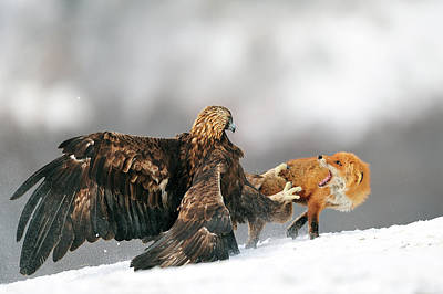 Angry Photograph - Golden Eagle And Red Fox by Yves Adams