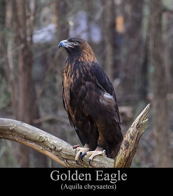 Animals Digital Art - Golden Eagle by Chris Flees