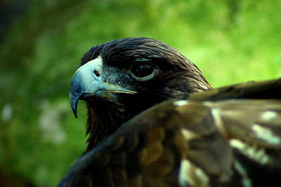Photograph - Golden Eagle by David Weeks