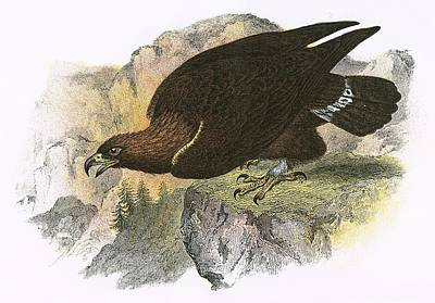 Golden Eagle Photograph - Golden Eagle by English School