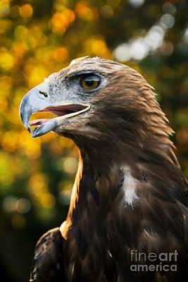 Animal Behavior Painting - Golden Eagle Autumn Face Vertical Portrait by Alexandra K