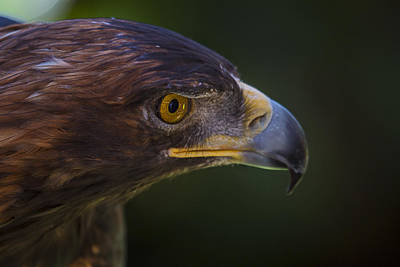 Seeing Photograph - Golden Eagle Hunting For Prey by Garry Gay