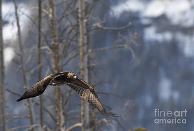 Photograph - Golden Eagle In Flight by Deby Dixon