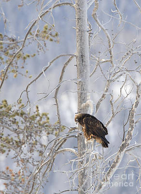 Photograph - Golden Eagle In Lamar Valley by Deby Dixon