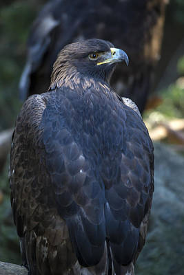Photograph - Golden Eagle by Mark Newman