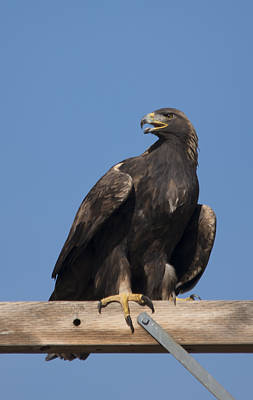 Photograph - Golden Eagle Perched by Loree Johnson