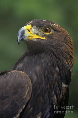 Photograph - Golden Eagle Portrait Threatened Species Wildlife Rescue by Dave Welling