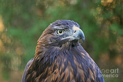 Photograph - Golden Eagle Raptor by Kevin McCarthy