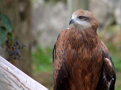 Zoo Photograph - Golden Eagle by Rebecca Davis
