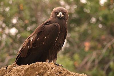 Golden Eagle Photograph - Golden Eagle by Roger Snyder