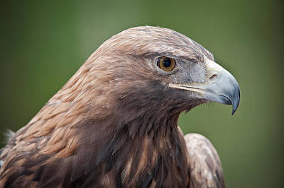 Photograph - Golden Eagle by Tyson and Kathy Smith