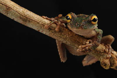 Frogs Photograph - Golden Eye by JP Lawrence