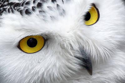 Golden Eyes Art Print by Pixabay