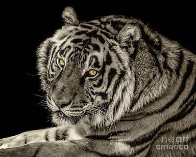 Photograph - Golden Eyes Of The Tiger by Julie Clements