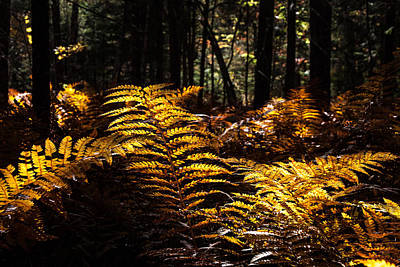 Photograph - Golden Ferns In Autumn by Jeff Folger
