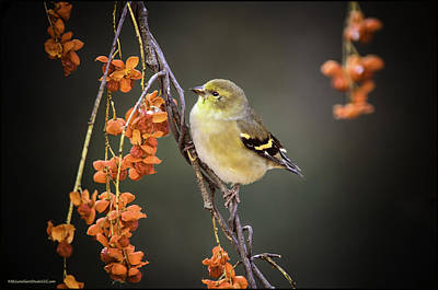 Photograph - Golden Finch And Mountain Ash by LeeAnn McLaneGoetz McLaneGoetzStudioLLCcom