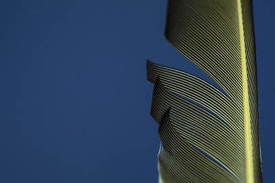 Photograph - Golden Finch Feather by Karol Livote