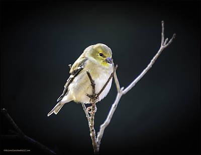 Photograph - Golden Finch by LeeAnn McLaneGoetz McLaneGoetzStudioLLCcom