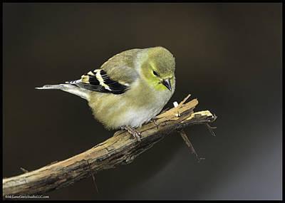 North America Photograph - Golden Finch Oit On A Limb by LeeAnn McLaneGoetz McLaneGoetzStudioLLCcom
