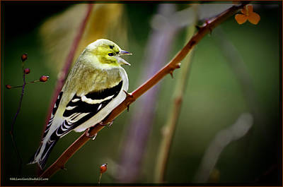 Photograph - Golden Finch Song Bird Sings by LeeAnn McLaneGoetz McLaneGoetzStudioLLCcom