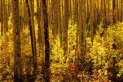 Photograph - Golden Forest Of Aspen Trees by Daniel Woodrum