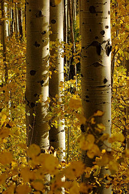 Photograph - Golden Forest Of Aspen Trees No.4 by Daniel Woodrum