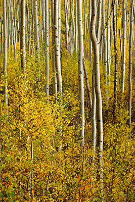 Photograph - Golden Forest Of Aspen Trees No.6 by Daniel Woodrum