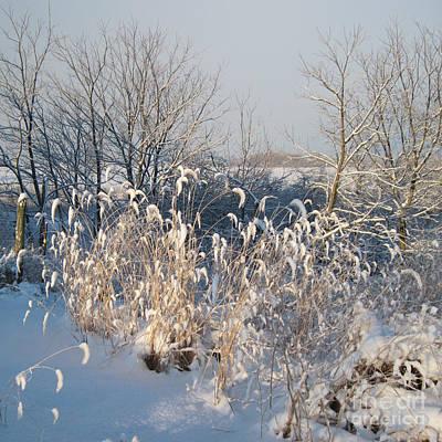 Photograph - Sun On Golden Foxtail Grass In The Snow by Conni Schaftenaar