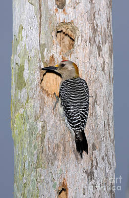 Woodpecker Photograph - Golden-fronted Woodpecker by Anthony Mercieca