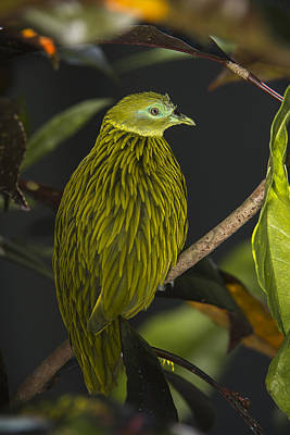Photograph - Golden Fruit Dove Fiji by Pete Oxford
